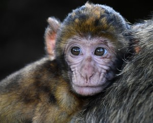 act like a monkey